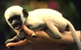 infant black and white colobus