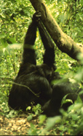 chimp arm-clasp grooming